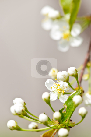 Gentle white spring flowers stock photo, Gentle white spring cherry flower buds and blossoms by Elena Elisseeva
