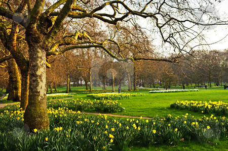 Daffodils in St. James's Park stock photo, Blooming daffodils in St James's Park in London by Elena Elisseeva