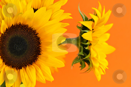 Sunflower closeup stock photo, Close up of sunflower flowers on orange background by Elena Elisseeva