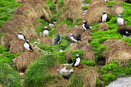 Puffins nesting in Newfoundland stock photo, Puffin birds nesting on island in Newfoundland, Canada by Elena Elisseeva