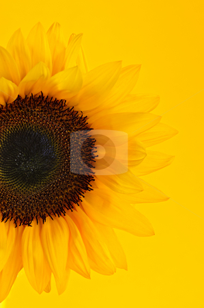 Sunflower closeup stock photo, Close up of sunflower flower on yellow background by Elena Elisseeva