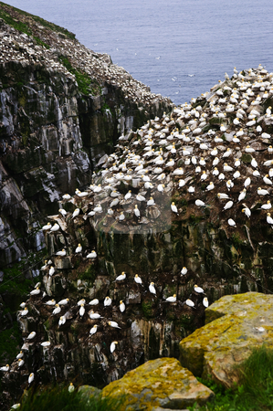 Cape St. Mary's Ecological Bird Sanctuary in Newfoundland stock photo, Northern gannets at Cape St. Mary's Ecological Bird Sanctuary in Newfoundland, Canada by Elena Elisseeva