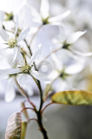 Gentle white spring flowers stock photo, Gentle white spring flowers of the serviceberry shrub by Elena Elisseeva