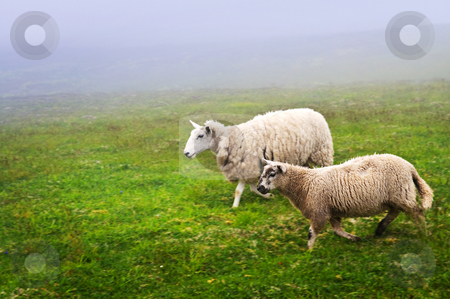 Sheep in Newfoundland stock photo, Two sheep walking in foggy field of Newfoundland, Canada by Elena Elisseeva