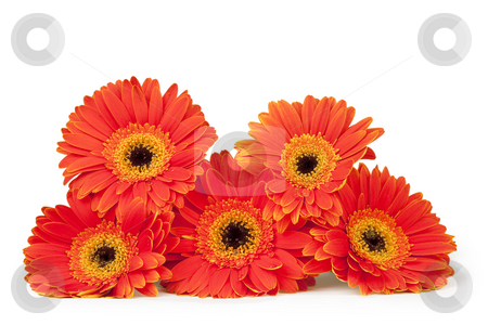 Stack of Five Bright Gerber Daisies (isolated on white) stock photo, Five orange and yellow gerber daisies stacked, isolated on white with clipping path by Eva Browning