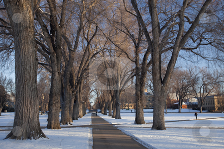Alley of old elm trees at university campus stock photo, Alley of old elm trees - historical Oval at Colorado State University campus, Fort Collins, winter morning by Marek Uliasz
