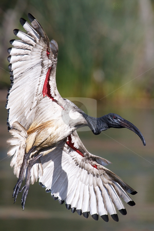 African Sacred Ibis stock photo, African Sacred Ibis in flight over water by Adriaan Van den Berg