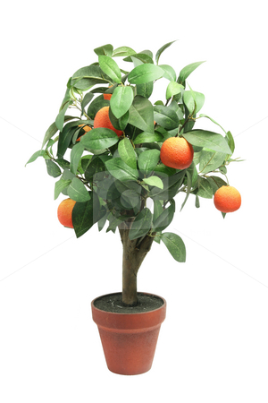 Tangerine Plant stock photo, Tangerine Plant on Isolated White Background by Lai Leng Yiap
