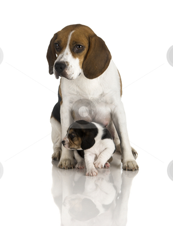 Beagle dog stock photo, picture of a beagle mom protecting is son by