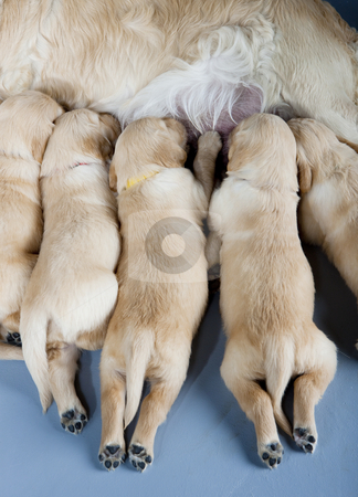 Detail of female dog of golden retriever with puppies stock photo, Detail of female dog of golden retriever with puppies by Richard Semik