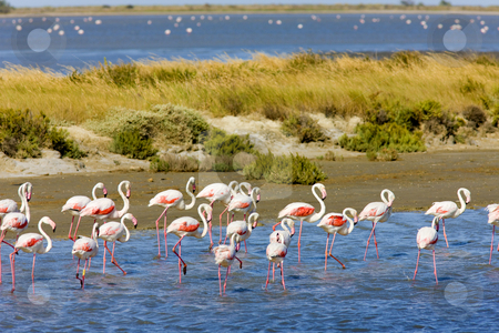 Parc Regional de Camargue, Provence, France stock photo, Flamingos, Parc Regional de Camargue, Provence, France by Richard Semik
