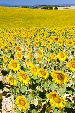 Provence, France stock photo, Sunflower field, Provence, France by Richard Semik