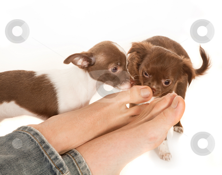 Dog smelling feet stock photo, Two puppy chihuahua dogs smelling the feet of their boss by Anneke