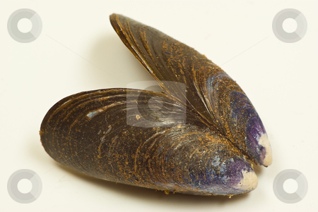 Muschelschale stock photo,  by Wolfgang Heidasch