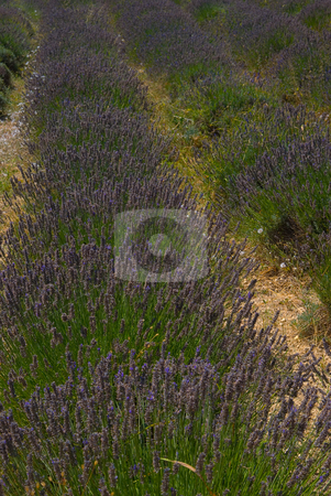 Echter Lavendel (Lavandula angustifolia, Syn.Lavandula officinal stock photo, Der Echte Lavendel (Lavandula angustifolia, Syn.Lavandula officinalis, Lavandula vera) ist eine Pflanzenart aus der Familie der Lippenbl?tler (Lamiaceae) - The lavenders (Lavandula) are a genus of 39 species of flowering plants in the mint family, Lamiaceae, native to the Mediterranean region south to tropical Africa and to the southeast regions of India. by Wolfgang Heidasch