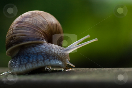 Big Burgundy snail crawling stock photo, Crawling big Burgundy snail after rain on summer evening by Colette Planken-Kooij
