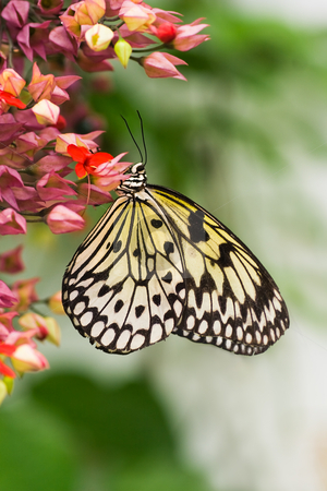 Paper kite butterfly - vertical image stock photo, Tropical Paper kite or Sunburst Rice Paper butterfly - vertical image by Colette Planken-Kooij