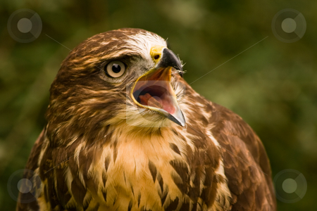 Buzzard screaming stock photo, Buzzard, a bird of prey, which is loudly screaming by Colette Planken-Kooij
