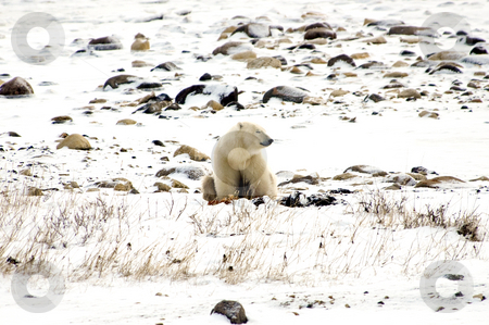 Lone polar bear stock photo, A lone polar bear napping on the tundra by Bonnie Fink
