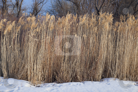 Dried common reed on riverside in winter stock photo, Stand of tall dried reed on riverside with snow in winter, South Platte River, eastern Colorado by Marek Uliasz