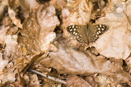 Speckled wood on dead leaves in forest stock photo, Speckled wood resting on dead leaves in forest on summer morning by Colette Planken-Kooij