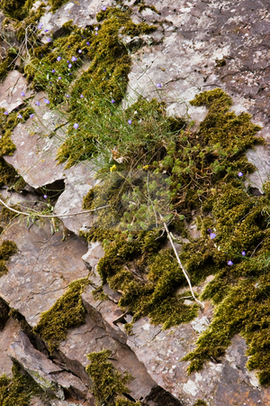 Moss and flowers on rockwall in summer stock photo, Blue flowers and moss growing on rockwall in the mountains by Colette Planken-Kooij