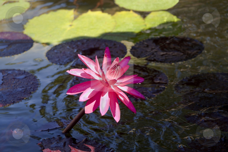 Lone Pink Lily stock photo, A close up of a single pink lily coming out of a pond by Kevin Tietz