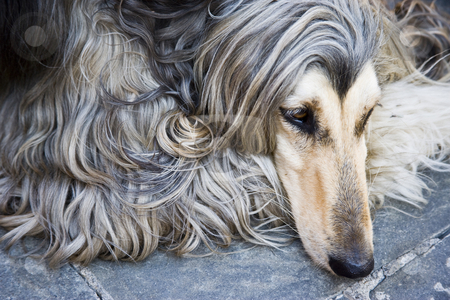 Afghan dog stock photo, Beauty afghan dog relaxing at the Tuscany in Italy by Carlos Sanchez
