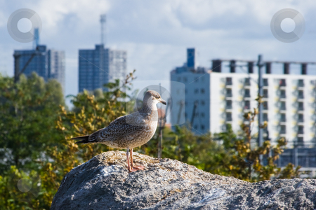 Young seagull with growing city in background stock photo, Young seagull with new buildings of growing city in background by Colette Planken-Kooij