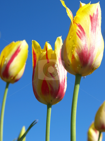 Field of tulips stock photo, Field of yellow and red tulips by Tim Markley