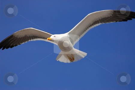 Flying seagull stock photo, A seagull flying in front of a blue sky by Alexander L?