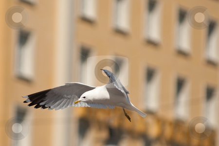 City seagull stock photo, A seagull flying in front of a house in stockholm by Alexander L?