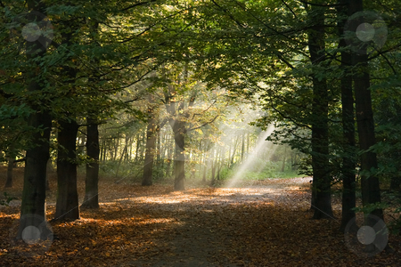 Lightbeams in forest stock photo, Lightbeams in the forest on an early autumn morning by Colette Planken-Kooij