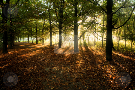 Sunrays through beech trees in autumn stock photo, Sunrays through beech trees in autumn with fallen beech leaves on the ground - horizontal by Colette Planken-Kooij