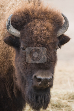 Portrait of American bison stock photo, Portrait of American bison or buffalo looking up by Colette Planken-Kooij