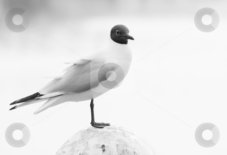 Black-headed Gull-black and white stock photo, Black-headed Gull standing on mooring-mast in harbor-black and white image by Colette Planken-Kooij