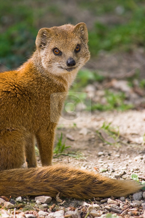 Yellow mongoose or red meerkat stock photo, Yellow mongoose or red meerkat lives on grasslands in Africa by Colette Planken-Kooij