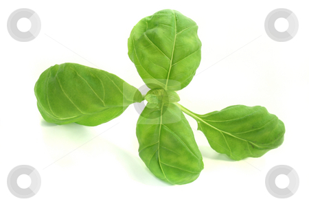 Basil stock photo, Basil on a white background - Still Life - Food by Marén Wischnewski
