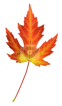 Tall Tree Silhouettes at Dusk stock photo, A maple leaf in fall color isolated on a white background. by Chris Hill