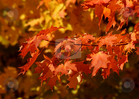 Orange Autumn Sugar Maple stock photo, A branch of orange maple leaves in full autumn glory. by Chris Hill