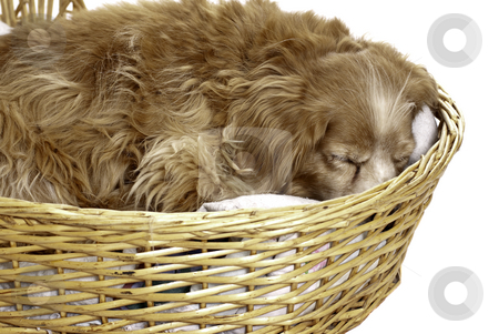 Sleeping Dog stock photo, A sleeping cockapoo is having a nap is a wicker basket, isolated against a white background. by Richard Nelson
