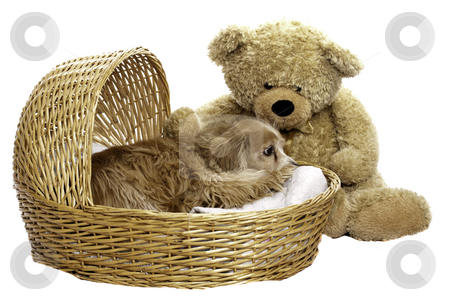 Nap Time stock photo, A tired dog is laying down in a wicker basket with a large teddy bear beside him, isolated against a white background by Richard Nelson
