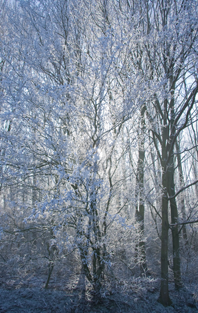 Light is shining stock photo, A low wintersun is shining trough the white snowy trees by Colette Planken-Kooij