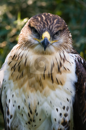 Buzzard stock photo, Buzzard sitting in the shadow of a tree by Colette Planken-Kooij