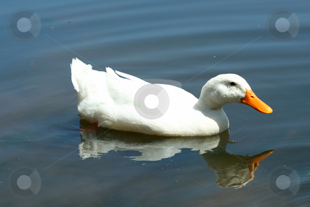 White domestic duck in a pond stock photo, A White domestic duck in a ...