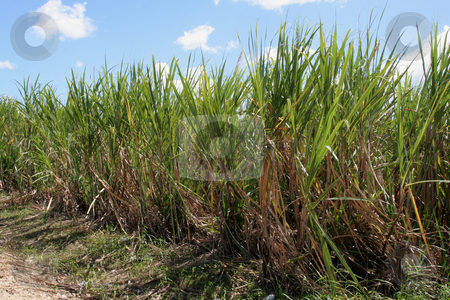 Sugar Cane Crop stock photo, Sugar cane fields in the Dominican Republic. by Chris Hill