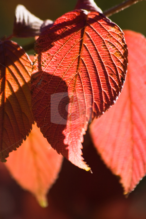Red autumn leaves  stock photo, Red leaves on a sunny day in autumn by Colette Planken-Kooij