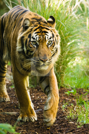 Asian tiger male stock photo, Asian tiger walking around on sunny morning by Colette Planken-Kooij