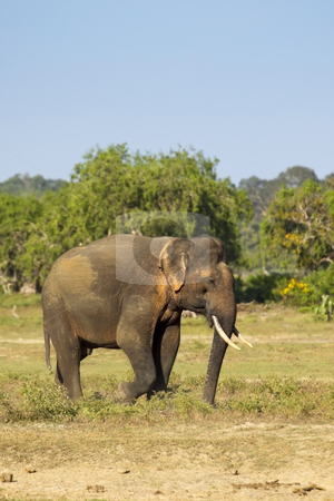 A rare yala tusker stock photo, One of a handful of tuskers in yala national park sri lanka by Mike Smith