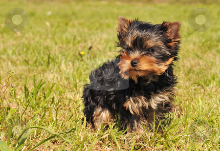 Puppy yorkshire terrier stock photo - Download dog Royalty Free Images ...